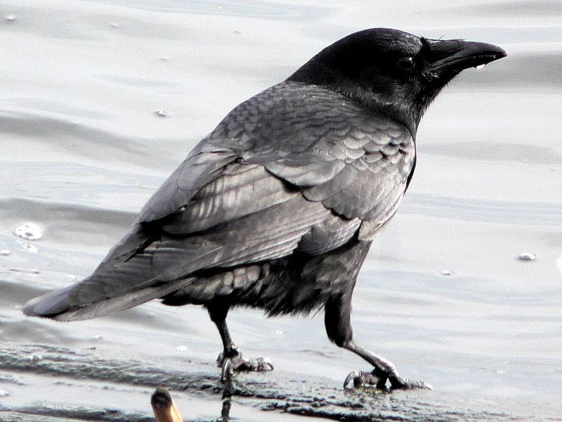 American crow on the shore of Union Bay (Seattle). Photograph by Walter Sigmund, distributed under a CC BY 2.5 license.