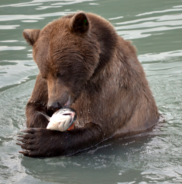 Grizzly_bear_with_salmon_-_journal.pbio.1001304.g001