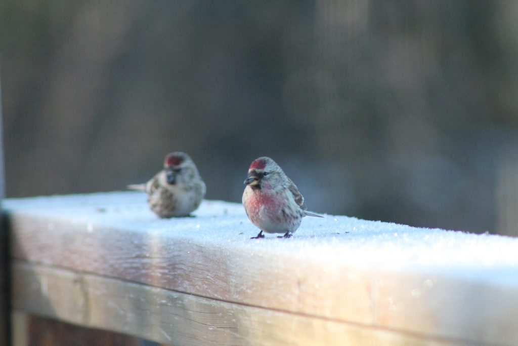 Common Redpoll Finches