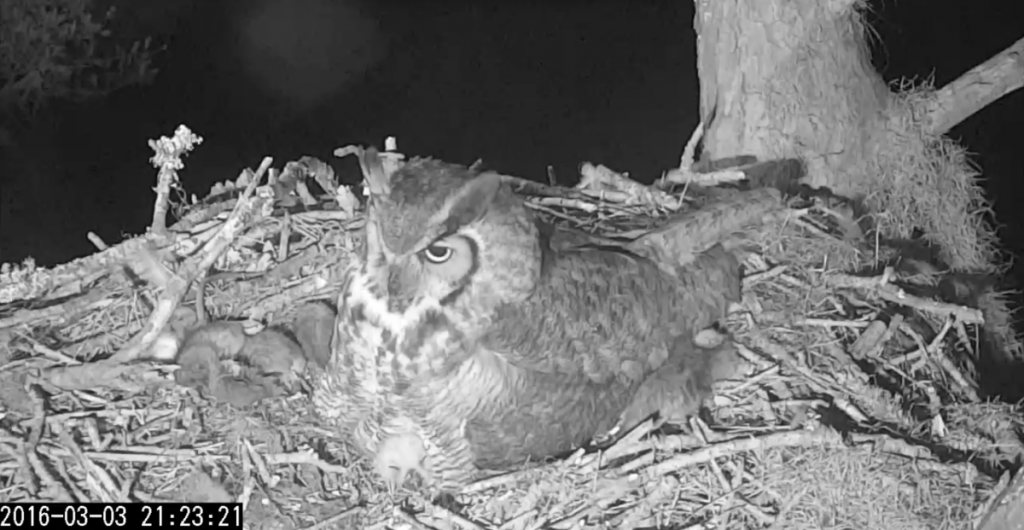 A mother Great Horned Owl sits atop its young while one protrudes.