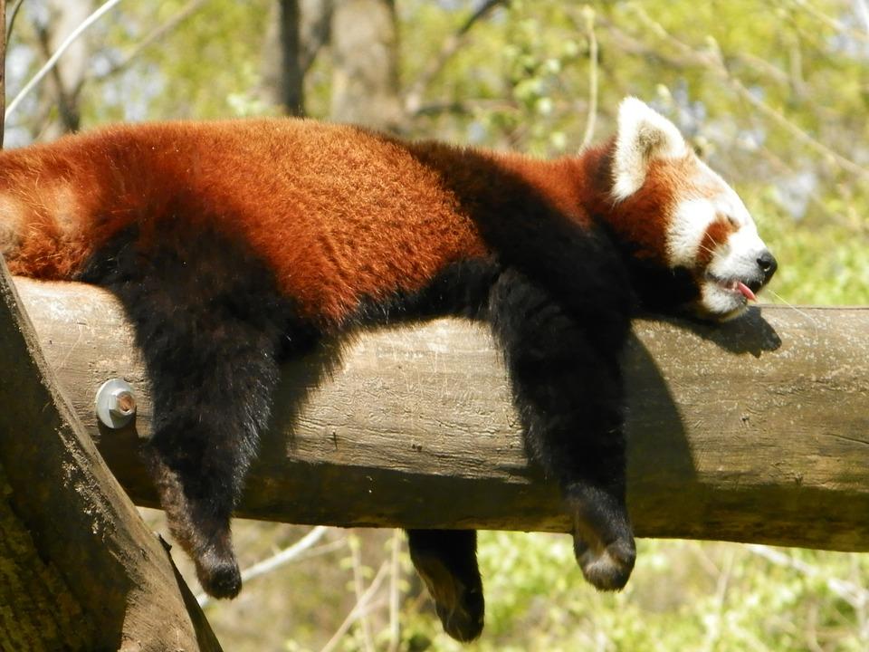 Red Panda napping