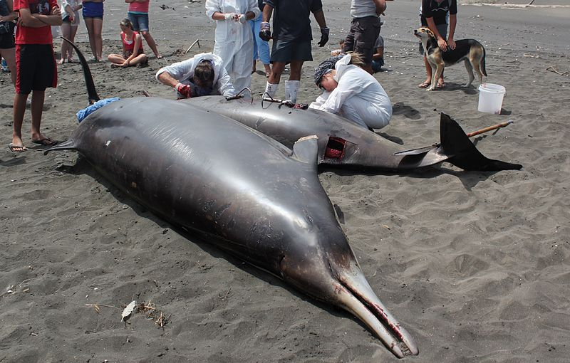 800px-Researchers_conduct_autopsy_on_stranded_beaked_whale