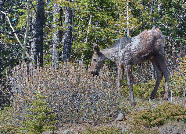 This ghost moose has scratched off some of its coat due to a tick infestation. Photo by LoveSomeBunny used under Creative Commons Attribution-NonCommercial-NoDerivs 2.0 Generic license via Flickr